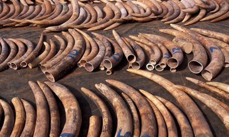 Sri Lanka Finally Destroys Its Stock Of Illegal Ivory And Apologizes To Elephants