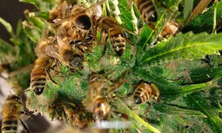 Nicolas Trainerbees, the Beekeeper That Has Managed to Get His Bees to Make Honey with Cannabis Resin