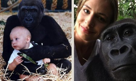 One of her closest gorilla friends, who she last saw at the age of 11, was released back into the wild and Aspinall went to see if she could reunite with him.