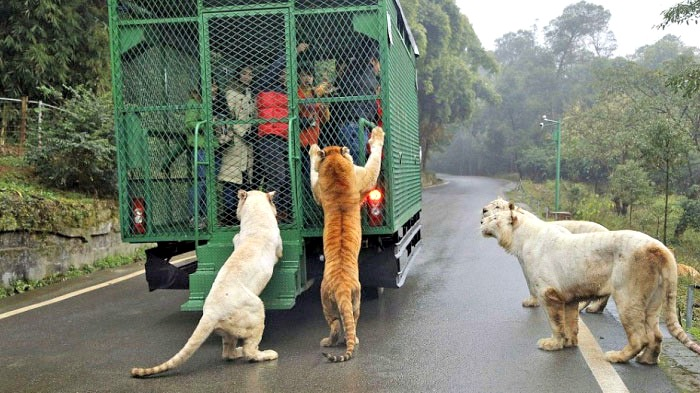 This Is The MOST Ferocious Zoo In China - Animals Roam